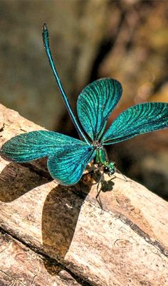 This beautiful dragonfly looks like a four-leaf clover