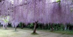 Wisteria Festival in Japan This is beautiful...I would love to see this!