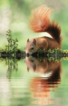 Squirrel enjoying a sip of water.
