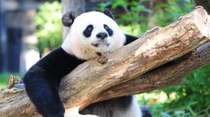 Decades of conservation efforts by China lead to a rise in the number of giant…