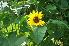 How to Grow Sunflowers - most popular giant sunflowers are Mammoth, American Giant & Skyscraper.