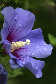 Rainy Day Blues, Rose of Sharon. July 28, 2013. © Photography by C.T. Ware