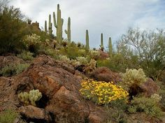 Saguaro National Park near Phoenix, Arizona