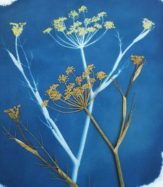 Lisa Shepherd, Textile illustrator and printer. Lisa Shepherds exquisite artworks are Cyanotypes, which are an alternative photographic process. They are further embellished with embroidery stitching, metallic leaf and water colour. Lisa will be exhibiting this year at Shyihli 25 Muraban Rd Dural.