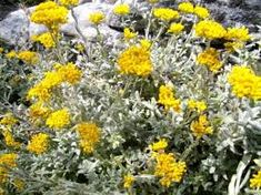 Image result for Helichrysum cymosum