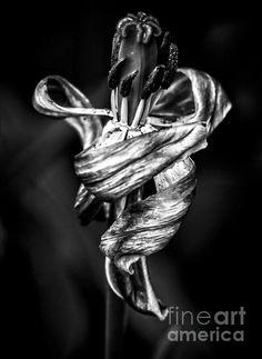 Danse Macabre IV - photograph by James Aiken #jamesaiken #floralphotography #macrophotography #dansemacabre #tulips