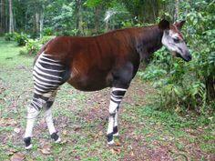 Almost extinct - Okapi
