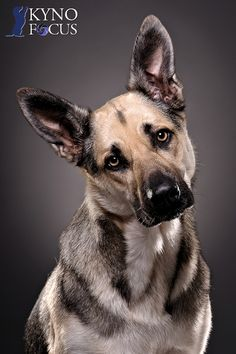 Hond in de studio met prachtige ogen!