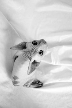 Feline perfection #sphynxcat