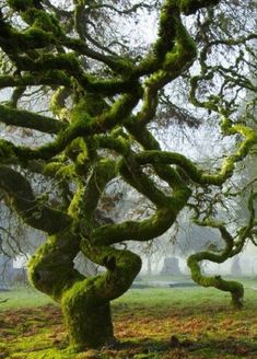 """""""Petrified Snake Ballet"""" - amazing tree, like a twisted snake. Great production of Mother Nature. All Nature, Amazing Nature, Science Nature, Nature Quotes, Unique Trees, Tree Forest, Magic Forest, Forest Garden, Land Art"""