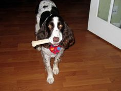 Fletch and his boney-bone.  He's a rescue dog from English Springer Spaniel Rescue - always choose rescue!