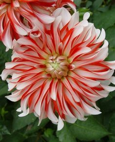 One pinner called this a Santa Claus Dahlia. I need to find one for my red, white, and blue flower bed!