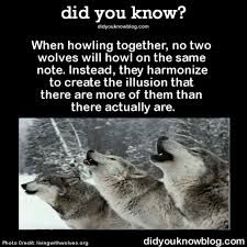 Me:the off key wolf Other wolf: dammit who brought moon moon! Wolf Spirit, Spirit Animal, Cute Funny Animals, Funny Cute, Beautiful Creatures, Animals Beautiful, Animals And Pets, Baby Animals, Two Wolves