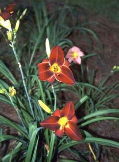 Already had the daylilies -spread them out