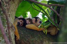 Cute squirrel monkeys in Okinawa, Yaeyama Islands. (P.S.: They are not native to Okinawa!)