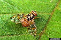 Mediterranean fruit fly (photo credit: Scott Bauer, USDA Agricultural Research Service, Bugwood.org)