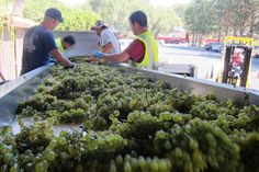 Sorting Chardonnay before it's crushed.