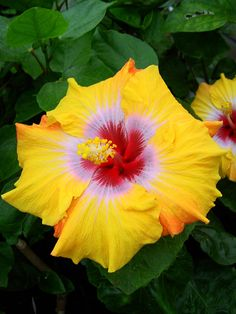 Hibiscus 'Ringleader'