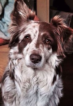 I know this says this dog is an Aussie, but's/he totally looks like a #BorderCollie!!!