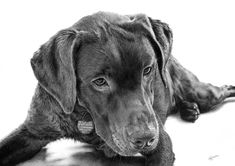 This A3, black & white pencil portrait took a long time to finish, but I was very pleased with the results. The client supplied a beautiful professional photograph to work from, which allowed m...