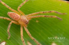 Huntsman Spider (Sparassidae) - DSC_1868 | by nickybay