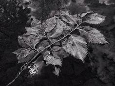 #naturephotography #monochrome #jfdupuis #infrared #style #bw #leaf