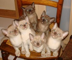 Burmese Kittens~ We have a Burmese Cat:) Here Kitty Kitty, Kitty Cats, Cats And Kittens, Crazy Cat Lady, Crazy Cats, Burmilla Cat, Burmese Kittens, Rare Cat Breeds, Oriental Cat
