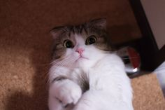 cute scottish fold kitten staring cat pic