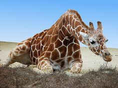 Beautiful Creatures, Animals Beautiful, Giraffe Species, Giraffe Neck, Greatest Mysteries, Reasons To Smile, Gentle Giant, Zoo Animals, Cute Faces