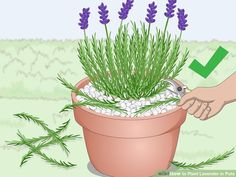 How to Plant Lavender in Pots. Lavender plants are beautiful and fragrant plants that thrive in warm dry climates. Not all climates are great for them, so sometimes they need a little extra care to grow well and produce the blossoms you. Planting Lavender Outdoors, Indoor Lavender Plant, Lavender Planters, Lavender Plant Care, Potted Lavender, Lavender Flowers, Planting Flowers, Growing Lavender Indoors, Lavender Fields