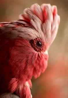 coral parrot