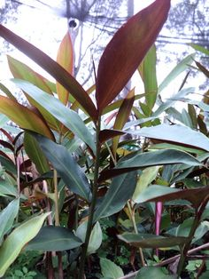 Alpinia 'Red Back' - Native Australian Ginger Ginger Plant, African Plants, Native Australians, Australian Plants, Back Gardens, Garden Plants, Landscape Design, Tropical, Flowers