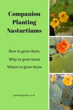 Companion Planting Nasturtiums