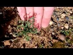 Trachyandra tortilis in nature - YouTube Rare Species, How To Dry Basil, Habitats, Youtube, Nature, Garden, Plant, Garten, Naturaleza