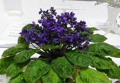 Saintpaulia grandifolia - Best Species African Violet