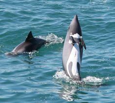 South Africa: Benguela Dolphin / Heaviside's Dolphin: Cephalorhynchus heavisidii