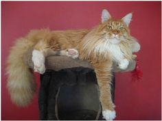 Maine Coon (with photos) - History, Temperament of the Maine Coon. | Cat Breeds http://www.mainecoonguide.com/male-vs-female-maine-coons/
