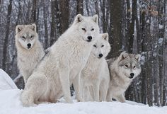 animal Wallpaper White Wolf Wallpapers Mobile All Wallpaper Wolf Love, Arktischer Wolf, Wolf Pup, Arctic Wolf, Arctic Animals, Cute Animals, Wild Animals, Wolf Images, Wolf Pictures