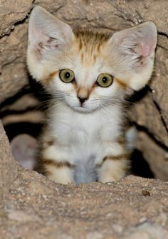 a little cub of Arabian Sand Cat (Felis margarita harrisoni) . Rare Animals, Cute Baby Animals, Animals And Pets, Funny Animals, I Love Cats, Crazy Cats, Cute Cats, Beautiful Cats, Animals Beautiful
