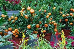 Beautiful grouping of dwarf orange trees in terra cotta...the perfect complement to an edible garden.