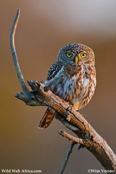 Pearl-spotted Owlet - Wim Vorster