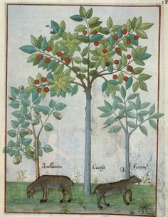 Botanical - Medieval - Fruit trees with cows