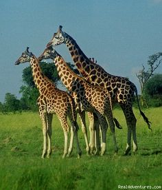 Uganda, Murchison Falls is the only place to see the giraffes.