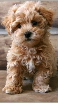 Facts and Photos About the Teddy Bear Dog Breed - Dogs - Chien Cute Baby Animals, Animals And Pets, Funny Animals, Cute Baby Dogs, Funny Dogs, Cute Mixed Babies, Cutest Animals, Wild Animals, Bear Dog Breed