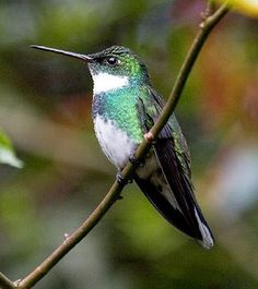 Exotic Hummingbird Pictures: White-Throated Hummingbird