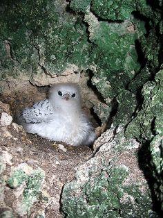 """Imagen por Este pico rojo tropicbird pollito (Phaethon aethereus) fue fotografiada cerca de 24 """"de nuevo en una cavidad cárstica de piedra caliza a lo largo de la costa del puerto de Graham en la isla de San Salvador el 19 de junio de 2007. Se trata de una chica muy joven, que cuenta con plumones. Se está empezando a crecer algunas plumas de adulto, y su pico no cambia de color hasta más tarde en el desarrollo."""