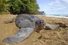 La tortue luth (leatherback)