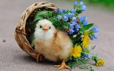 Little Chicken Cutes Little Chicken Cutes - Bird, Chicken, Cute, Chick, Basket, Animal, Flower, Cutes, Little Cutes, Bird Full hd