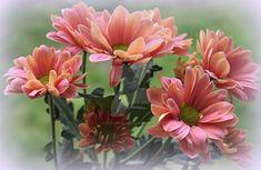 chrysanthemums by SvitakovaEva on DeviantArt