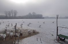 Swans on the frozen river-Labudovi na zaleđenoj reci-